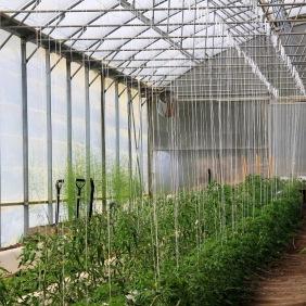 Tomater på tillväxt
