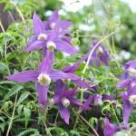 Klematis 'Violet Purple'