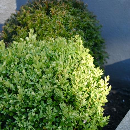 Buxbomklot - Buxus sempervirens