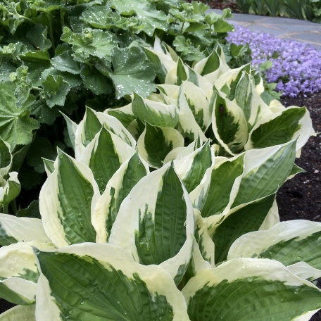Funkia - Hosta fortunei 'Patriot'