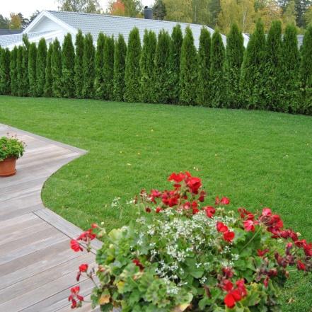 Nyplanterad thujahäck. Svängda former på trädäcket möte gräsmattan.