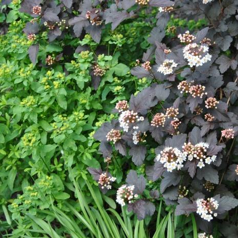 Smällspirea 'Diabolo' med röda blad till höger.