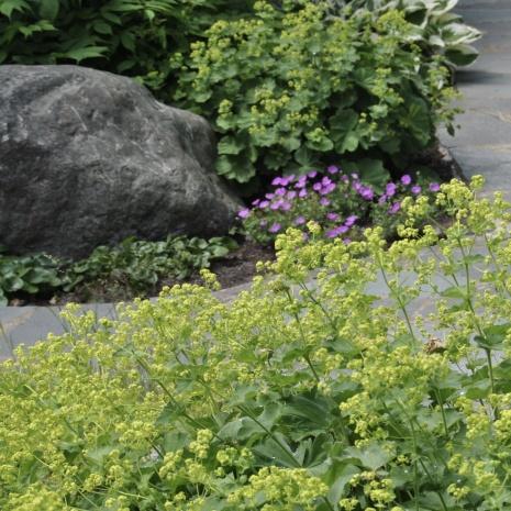 Blommande jättedaggkåpa i förgrunden.