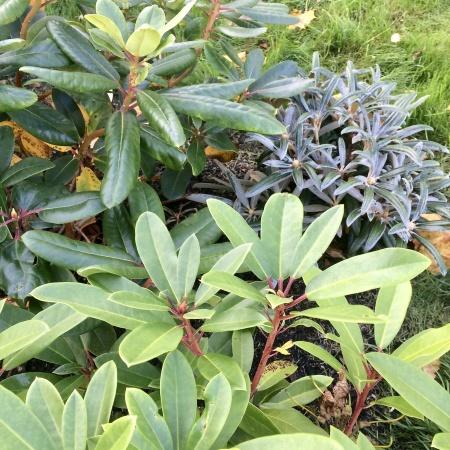Flera sorters lågväxande rhododendron som komplement till äldre rhododendronsnår.