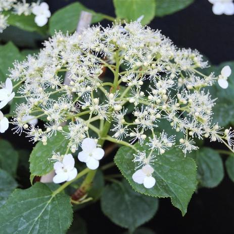 Klätterhortensia - Hydrangea anomala ssp. petiolaris