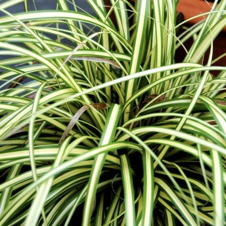 Japansk starr-  Carex morrowii