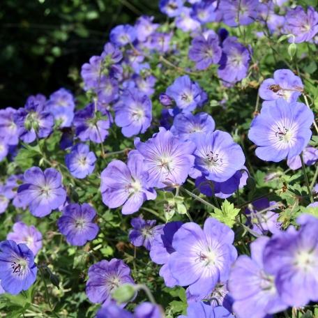 Trädgårdsnäva - Geranium 'Rozanne'