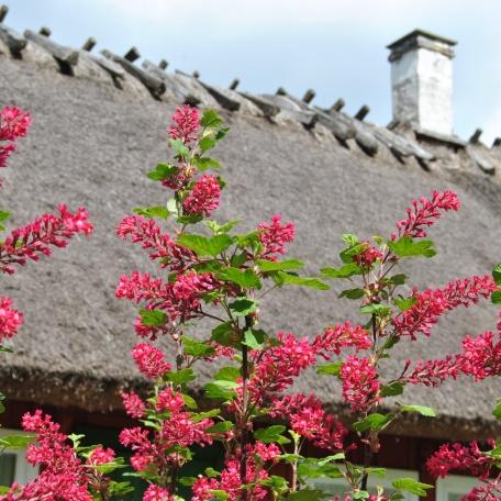 Blommande rosenrips - Ribes sanguineum