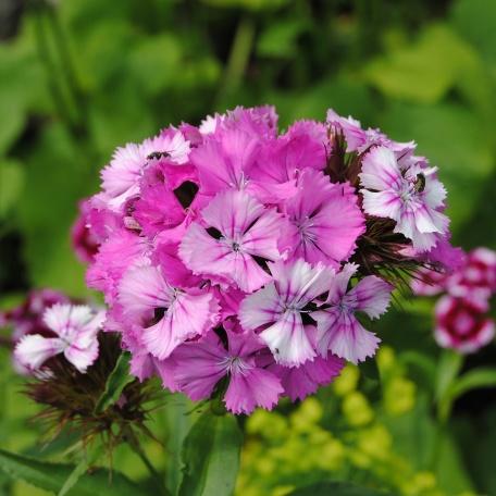 Borstnejlika - Dianthus barbatus