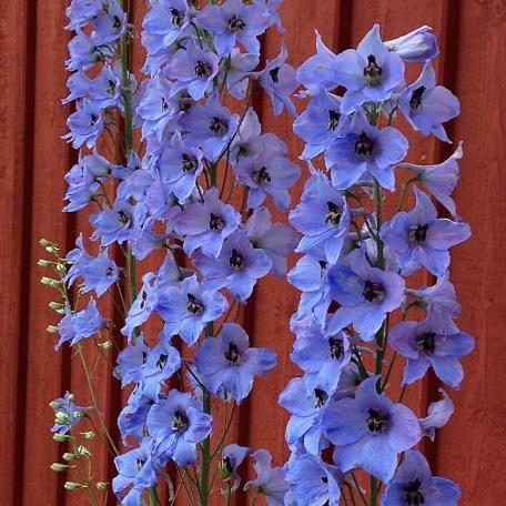 Trädgårdsriddarsporre - Delphinium Elatum-Gruppen