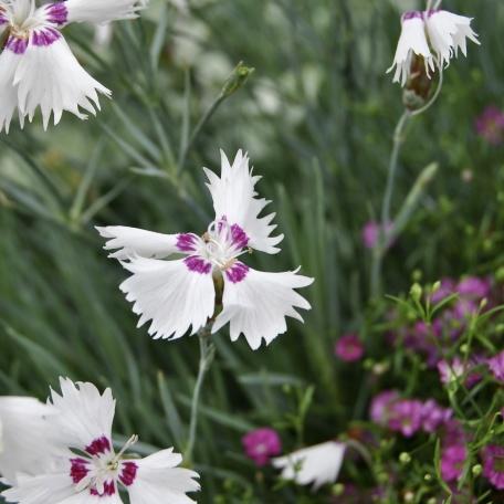- Fjädernejlika - Dianthus Pulmarius-gruppen 'Maireberg'