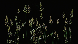 Randgräs, foto Stig Olsson