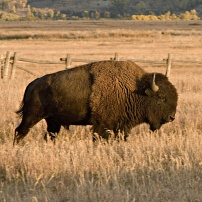 Bison, foto Conny Andersson