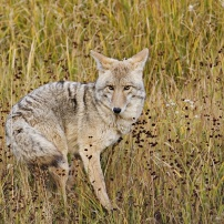 Coyote, foto Conny Andersson