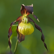Juni, Cypripedium calceolus, foto Conny Andersson