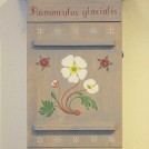 Väggskåp Ranunculus glacialis / Wall cabinet Ranunculus glacialis