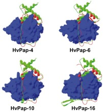 Homology models showing the interaction of the cathepsin B HvPap-19 propeptide with barley L-like cathepsins.. From: Structural Basis for Specificity of Propeptide-Enzyme Interaction in Barley C1A Cysteine Peptidases.
