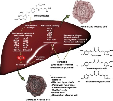 Schematic representation of the beneficial effects of turmeric on MTX induced liver toxicity. Turmeric plays an important role in modification of liver injury caused by MTX. The turmeric mostly exerts its effects by regulation of antioxidant capacity including enzymatic (SOD and CAT) and non-enzymatic antioxidants (GSH) as well as lipid peroxidation. It also modulates some liver related biochemical parameters causing in improvement of biliary and hepatic synthetic functions. Interestingly turmeric can normalize the histological changes in hepatocytes induced by MTX such as decrease in periportal degeneration, hyperemia, necrosis, and prevention of inflammatory cells infiltration