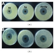 Piper nigrum Leaf and Stem Assisted Green Synthesis of Silver Nanoparticles and Evaluation of Its Antibacterial Activity Against Agricultural Plant Pathogens.  Antibacterial activity of silver nanoparticles synthesized by using leaf and stem extract of Piper nigrum. Kanniah Paulkumar, et al. ScientificWorldJournal. 2014;2014:829894.