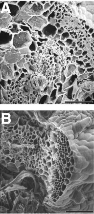 Germanium Does Not Substitute for Boron in Cross-Linking of Rhamnogalacturonan II in Pumpkin Cell Walls.  Scanning electron micrographs of the broken petiole ends from the second leaf of B-deficient and Ge-treated (28 μm) pumpkin plants. A, Petiole from Ge-treated plant; B, petiole from B-deficient plant. Scale bar = 100 μm. Tadashi Ishii, et al. Plant Physiol. 2002 Dec;130(4):1967-1973