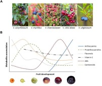 On the Developmental and Environmental Regulation of Secondary Metabolism in Vaccinium spp. Berries.  (A) Vaccinium berries: highbush blueberry (V. corymbosum), bilberry (V. myrtillus), cranberry (V. macrocarpon), lingonberry (V. vitis-idaea), and bog bilberry (V. uliginosum). (B) Schematic representation of the accumulation of key metabolites during bilberry fruit development and ripening. The highest mean values of different compounds are 3960 μg g-1 FW for anthocyanins, 216 μg g-1 FW for proanthocyanidins, 130 μg g-1 FW for flavonols, 82.5 μg g-1 FW for vitamin C, 6.2 μg g-1 FW for ABA and 81.8 μg g-1 DW (14.4 μg g-1 FW) for carotenoids, according to , , and , ). Katja Karppinen, et al. Front Plant Sci. 2016;7:655.