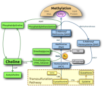 Choline metabolism. Choline and its metabolites serve three roles purposes: structural integrity and signaling roles for cell membranes, cholinergic neurotransmission (acetylcholine synthesis), and a source for methyl groups via its metabolite, trimethylglycine (betaine), which participates in the biosynthesis of S-adenosylmethionine (SAM)
