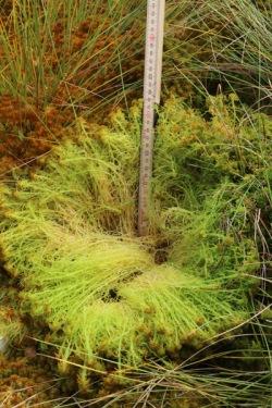 Den årliga tillväxten av vitmossa kan vara väldigt god. Här på en återvätt torvtäkt med spontan vegetationsutveckling.