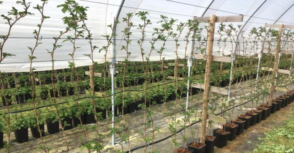 Långskottsplantor som sätts i 8-literskrukor och som utvecklar sidoskott, lateraler som börjar skördas 90 dagar efter plantering. En sådan odling kan ge 20 ton per hektar. Foto: Magnus Engstedt