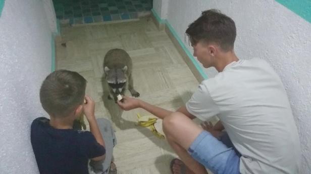 Killarna träffar på en sör tvättbjörn på Isla Holbox