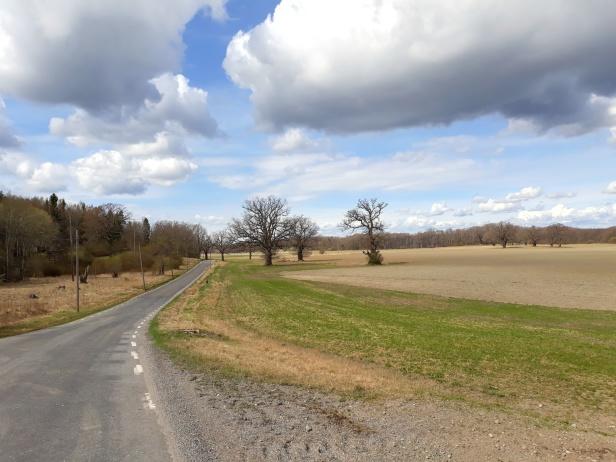 En vacker gammal lansdväg med enormt vackra ekar
