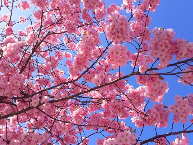 """Så vackert! På blomsterspråk betyder körsbärsblomma: """"Min kärlek väntar på att bli besvarad av dig""""."""