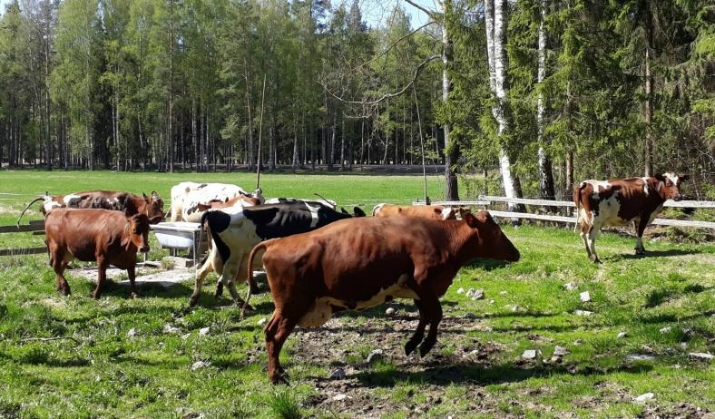 Dagens stora stjärnor! Kosläpp på Hermanssons gård i Hedemora.
