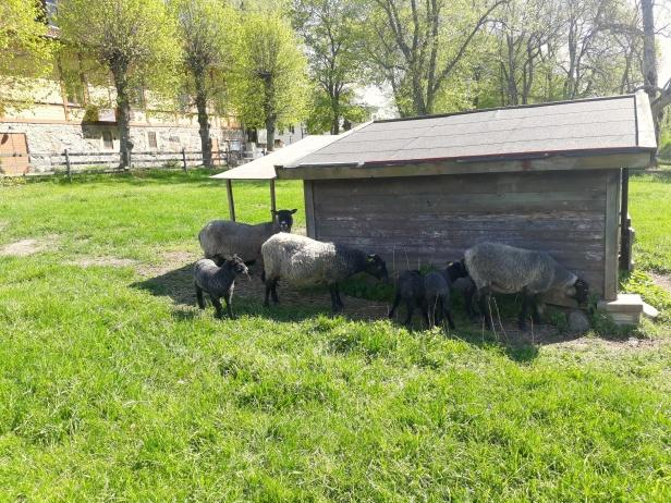 Ulliga och gulliga får med sina lamm ute på Elfviks Gård.