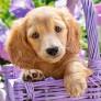 Pussel - Hundvalp i en Korg