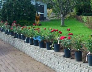 I väntan på att läkaren skulle ringa planterade vi rosor i vår rabatt vid uppfarten till huset