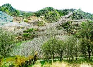 Nu i april beskärs vinrankorna i Moseldalen