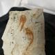 Fossiliserade fiskar - Fossiliserad fisk
