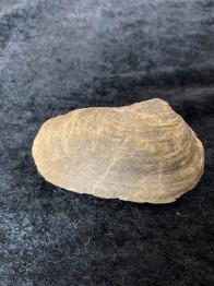 Mussla fossiliserad