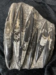 orthoceras Fossiliserad bläckfisk