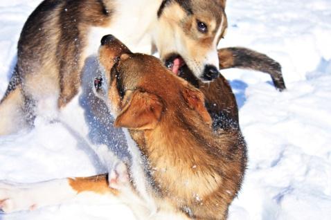 Rush & Fox på dagens långpromenad