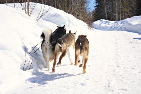 Run for it! På bilden, Rush, Fox & Sitka. Foto: Frida Tenghede