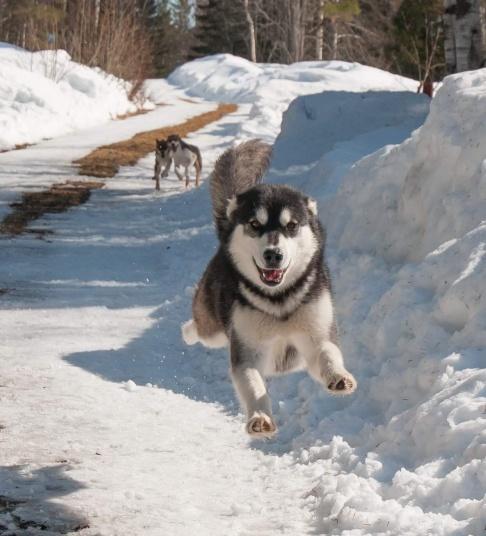Den flygande hunden, Sitka. Foto: Alex Poulsen