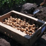 Potatis i åkern