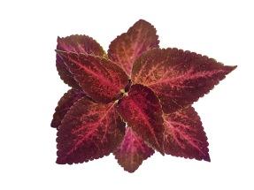 Blueberry Queen Coleus/Palettblad