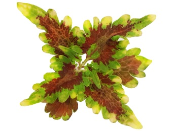 Golden Gate Coleus/Palettblad