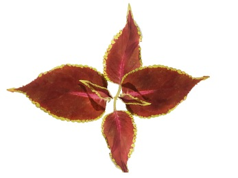 Mrs Pilkington Coleus
