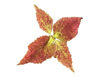 Strawberry Jam Coleus