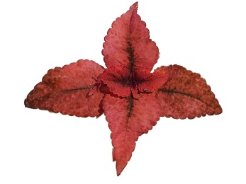 Mariposa Coleus/palettblad