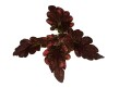 Black Beauty coleus/palettblad
