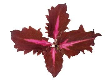 Crimson ruffles coleus/palettblad